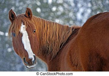Chestnut Arabian Horse in winter