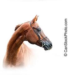 chestnut arabian stallion isolated over a white background