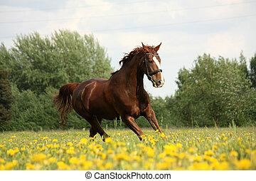 Chestnut beautiful horse galloping at the blooming meadow - ...