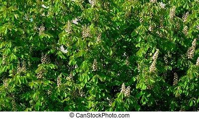 Chestnut blossom. 4K telephoto lens shot
