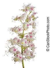 chestnut blossom isolated over white background