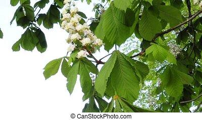 chestnut blossom
