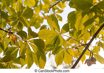 Chestnut branch with leaves at sunset