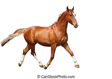 chestnut bruin, paarde, kosteloos, rennende , achtergrond, ...