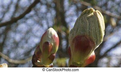 chestnut bud Horse-chestnut - close up