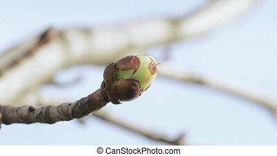 Chestnut buds in spring - Against the sky swollen chestnut...