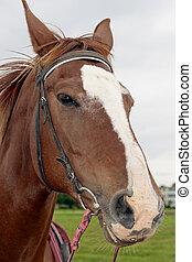 Chestnut colored quarter horse
