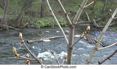 chestnut conker tree twig with buds move in wind and flowing...