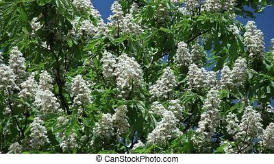 chestnut flowers on tree branches against a blue sky on a...