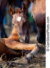 Chestnut foal lying down