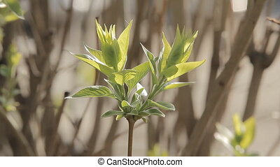 Chestnut Foliage in Spring