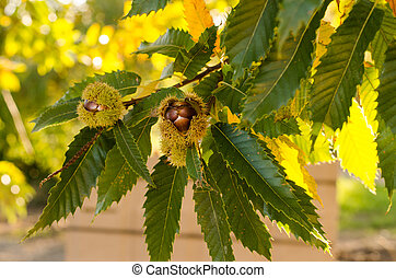 chestnut fruit with leaves