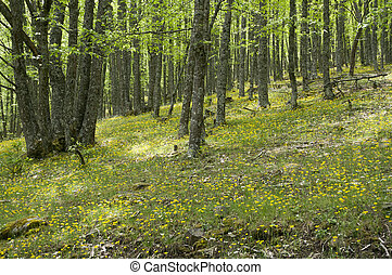Chestnut grove in Iruelas Valley Natural Park, Avila, Spain