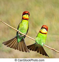 chestnut-headed, bee-eater