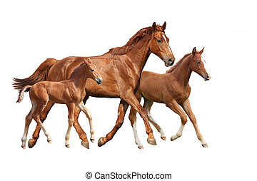 Chestnut horse and two its foals running isolated on white...