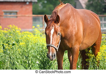 Chestnut horse at the field with yellow flowers