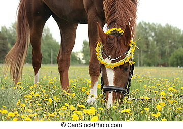Chestnut horse eating dandelions at the pasture in rural...