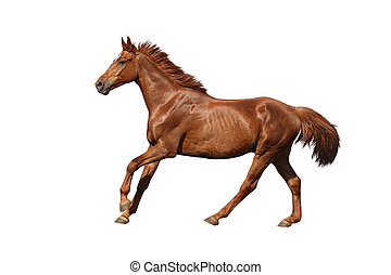 Chestnut horse galloping fast and free on white background