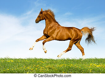Chestnut horse gallops in field