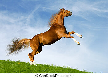 Chestnut horse gallops in field - Chestnut Bavarian horse...