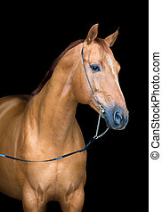 Chestnut horse isolated on black