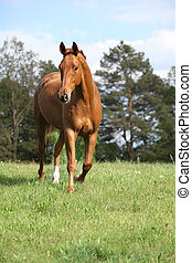 Chestnut horse on horizon in front of some trees