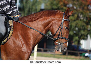 Chestnut horse portrait with rider - Chestnut sport horse...