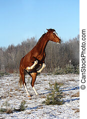 Chestnut horse rearing in winter