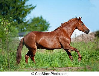 Chestnut horse running in freedom