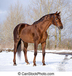 Chestnut horse standing in field at winter.
