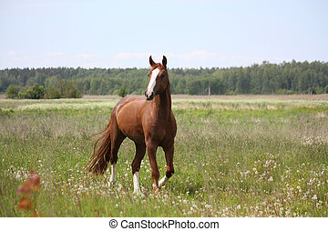 Beautiful free chestnut horse trotting at the field with flowers