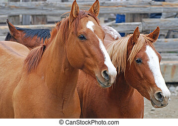 Two chestnut colored horses in an auction yard.