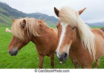 Chestnut Icelandic Horses - Two nice Icelandic horses with...