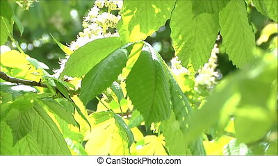chestnut in bloom 6