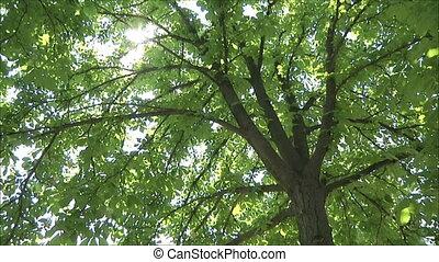 chestnut in bloom 7