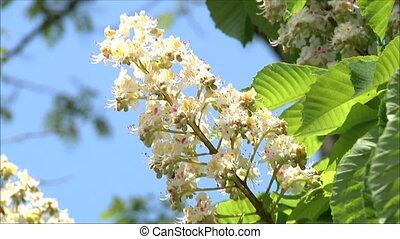 chestnut in bloom 8