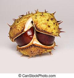chestnut in case on white background