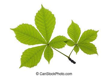 chestnut leaf isolated over white background