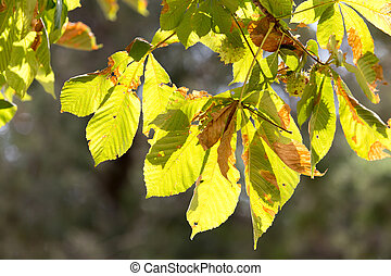 chestnut leaves on a tree