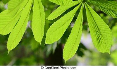 Chestnut leaves shot large in backlight - Chestnut leaves...