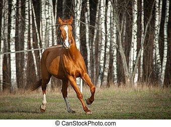 Chestnut purebred horse on training