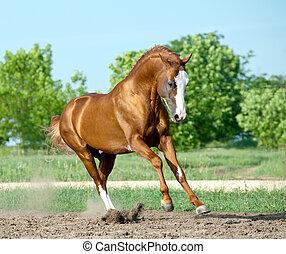 chestnut don stallion playing