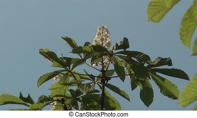 chestnut - blossom of horse-chestnut tree/conker