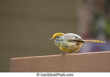 Chestnut-tailed Minla bird in yellow living in Chiangmai,...