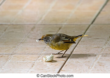 Chestnut-tailed Minla bird in yellow nibbling bread in...