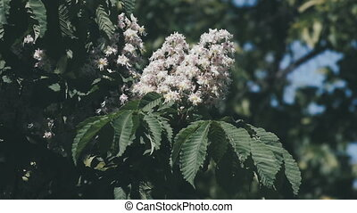 Chestnut tree. Blooming chestnut. Swaying Branches Inflorescence chestnut in slow motion.