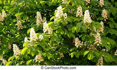 Chestnut tree - Blooming flowers on the chestnut tree