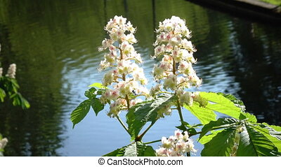 Chestnut tree Chromakey. Blooming chestnut. Swaying Branches...