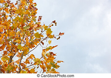 Chestnut tree in autumn with dry leaves