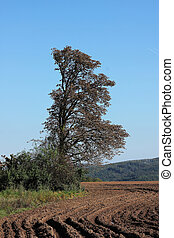 Chestnut tree in plowed field